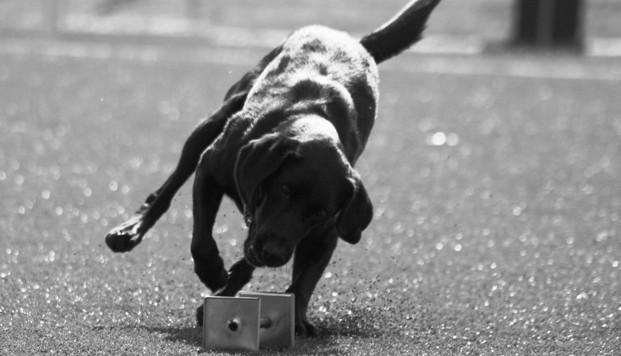 lydnadshundar